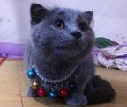 种母品相甜美折耳蓝猫MM,找有缘的粑妈