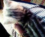 自家繁育的最后一只美短银虎斑折耳弟弟低价找爱家