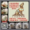 广州萨摩耶多少钱一只 萨摩耶怎么挑选 广东暮光狗场