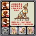 广州泰迪犬专卖 广州泰迪犬多少钱 广东暮光狗场