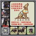 广州罗威纳犬什么价位 广州罗威纳多少钱 广东暮光狗场