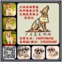 广州纯种柯基宝宝出售 广州柯基犬什么价位 广东暮光狗场