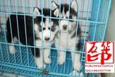 纯种赛级哈士奇 带证书打完疫苗 售后签订购犬协议